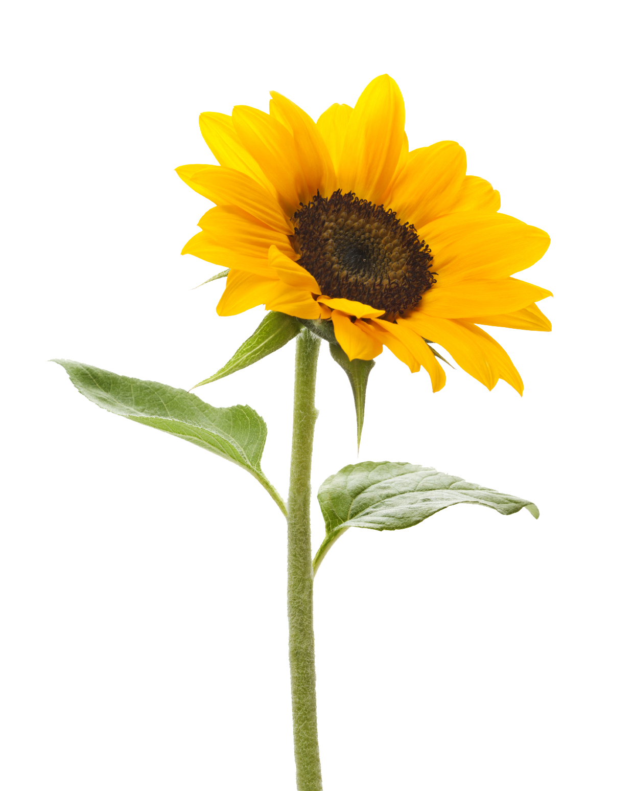 PNG Sunflower - 58135