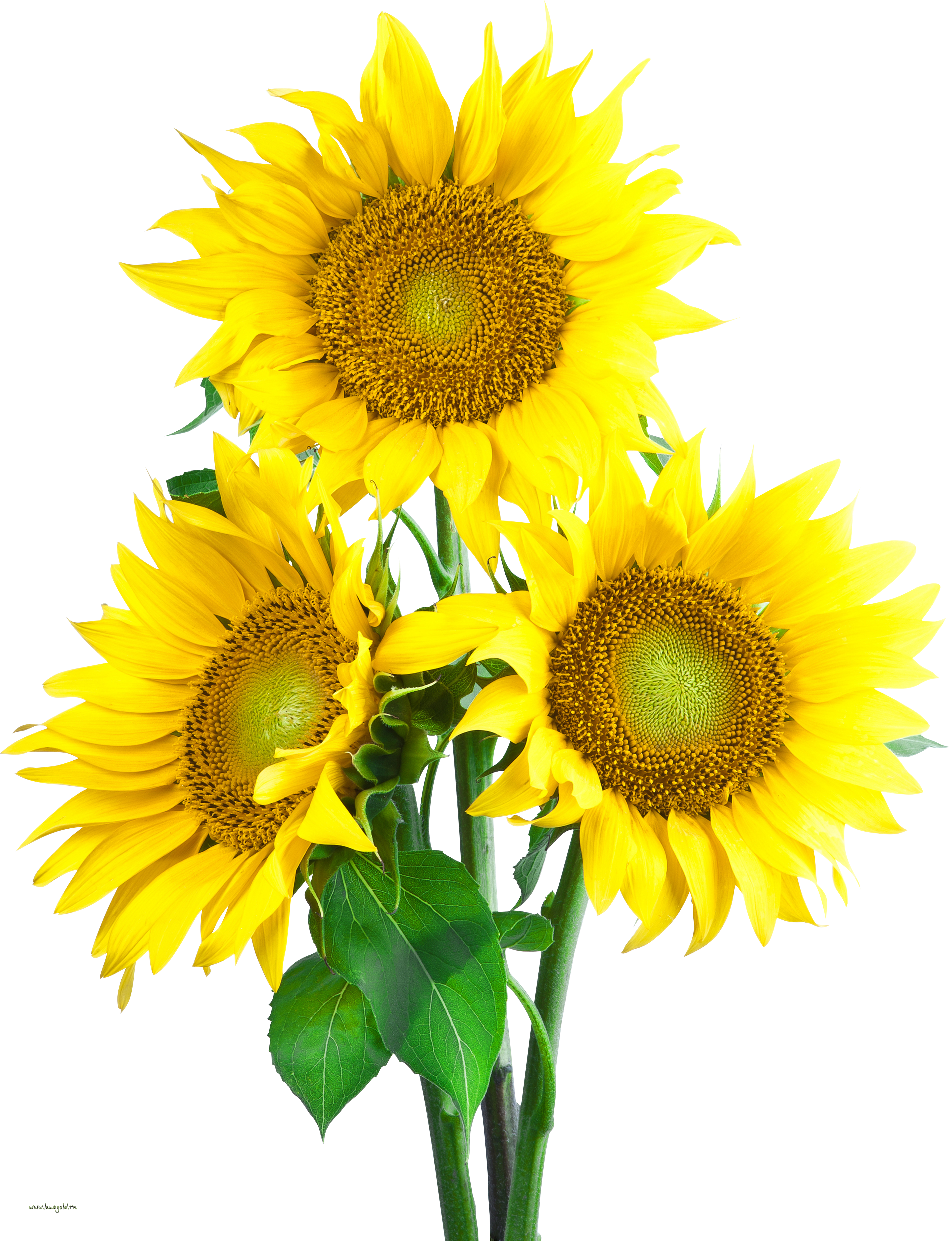 PNG Sunflower - 58120