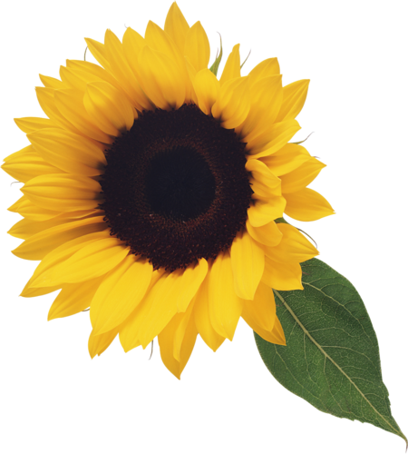 PNG Sunflower - 58123