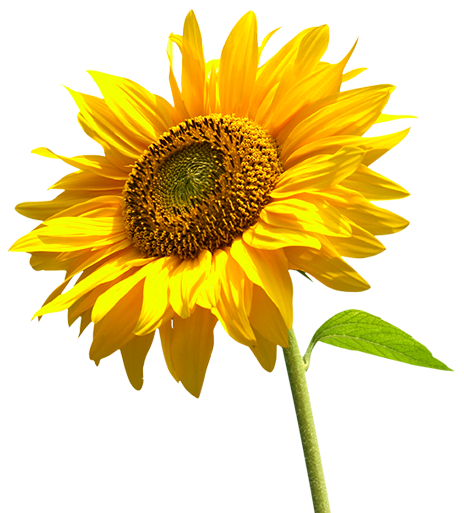 PNG Sunflower - 58121