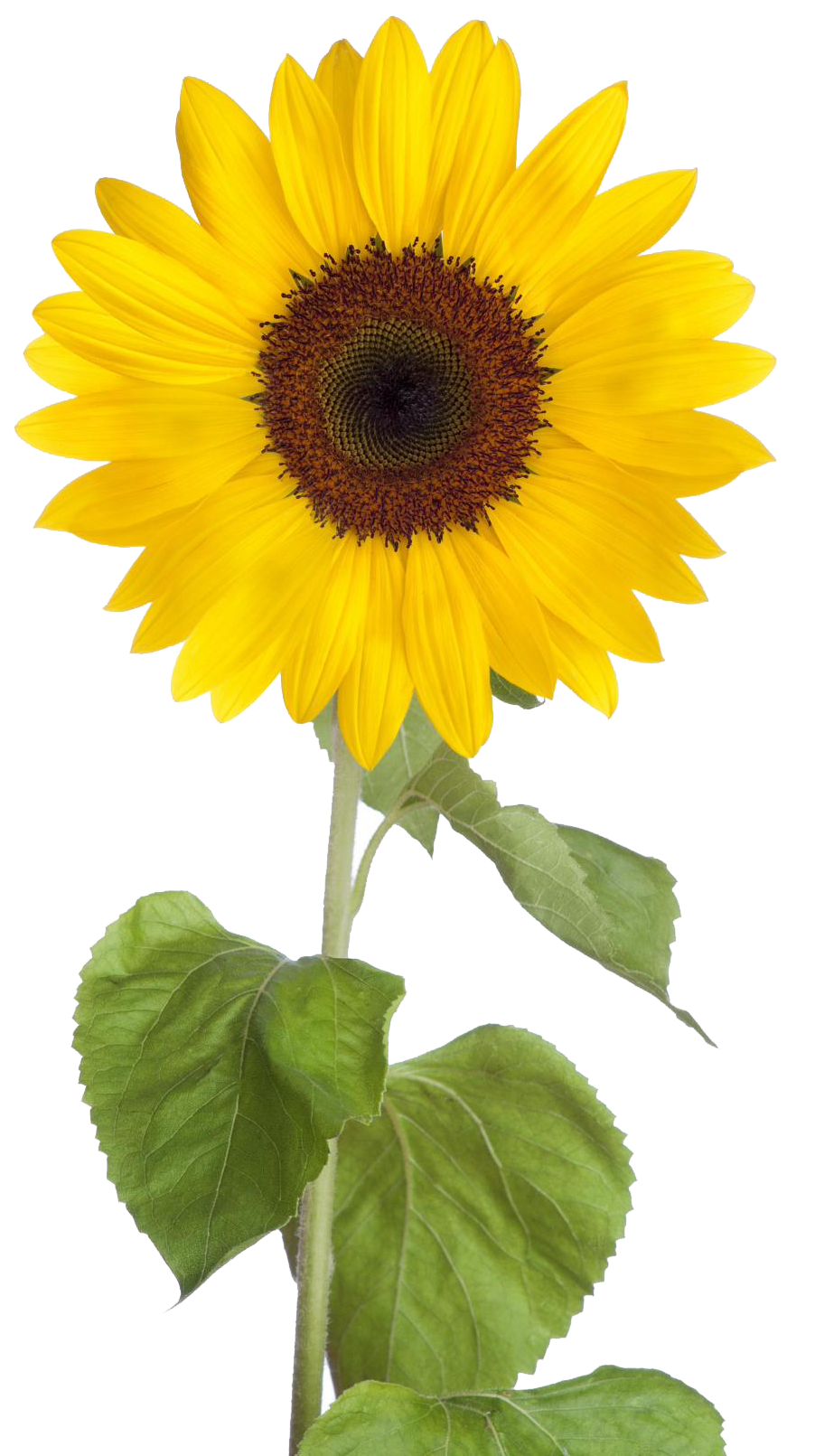 PNG Sunflower - 58124