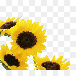 PNG Sunflower - 58131