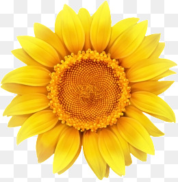 PNG Sunflower - 58128