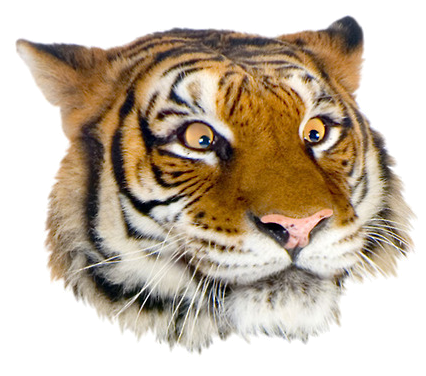 Grft suggestive face.png - PNG Tiger Face