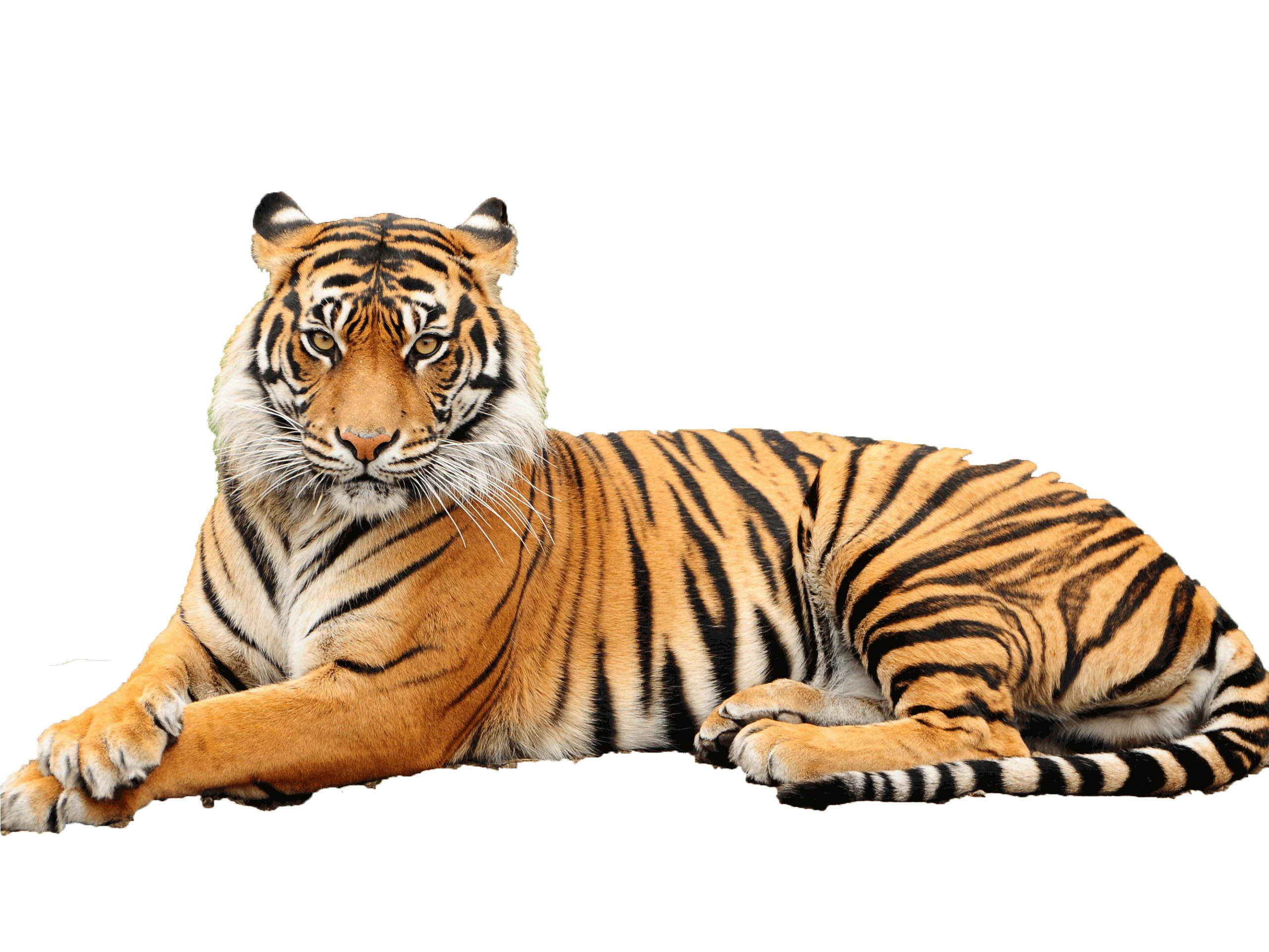 PNG Tiger Face - 58687