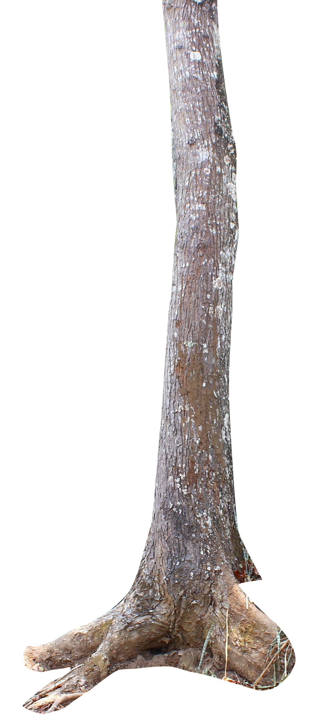 PNG Tree Trunk