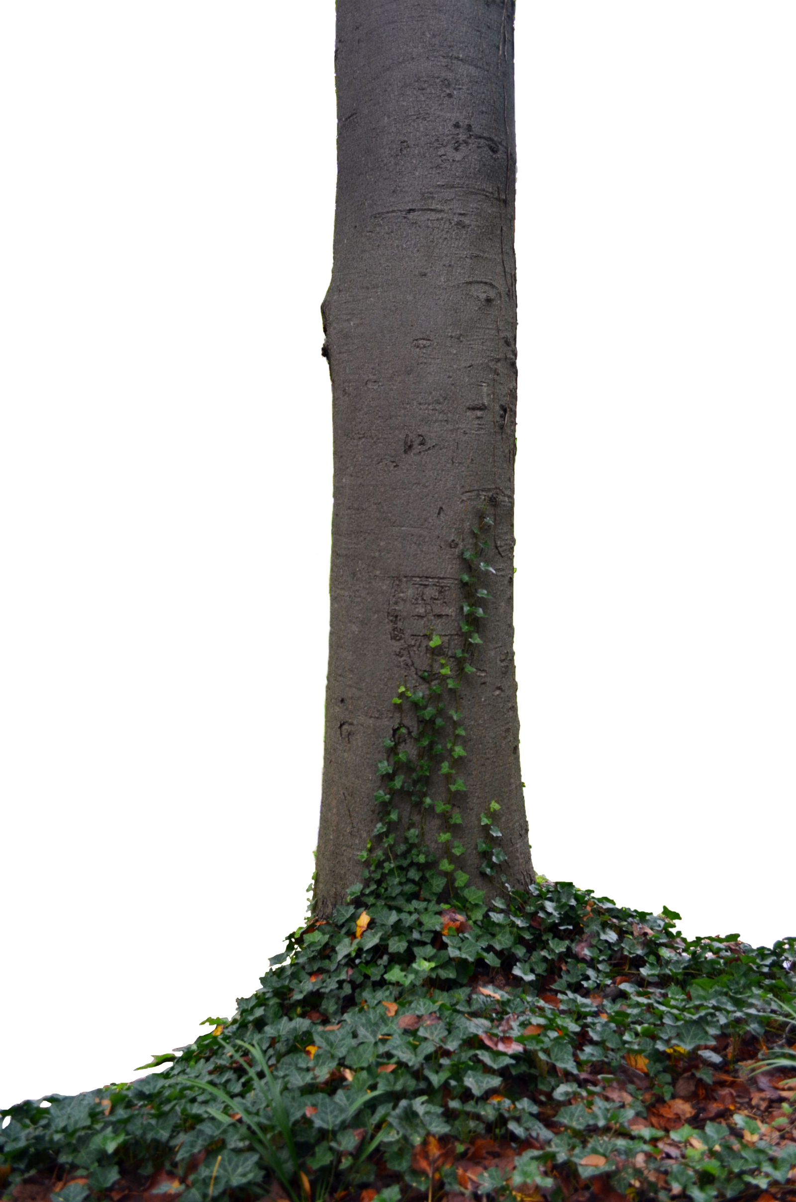 . PlusPng.com Tree Trunk With Ivy Stock Photo TALL DSC 0140 PNG By Annamae22 - PNG Tree Trunk