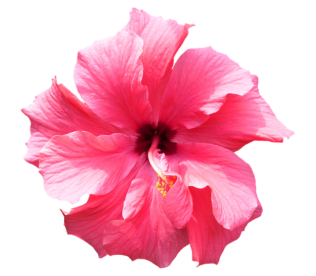 Free photo: Hibiscus, Pink, T
