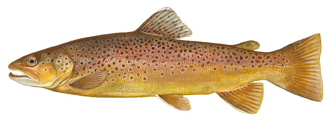 PNG Trout - 83155