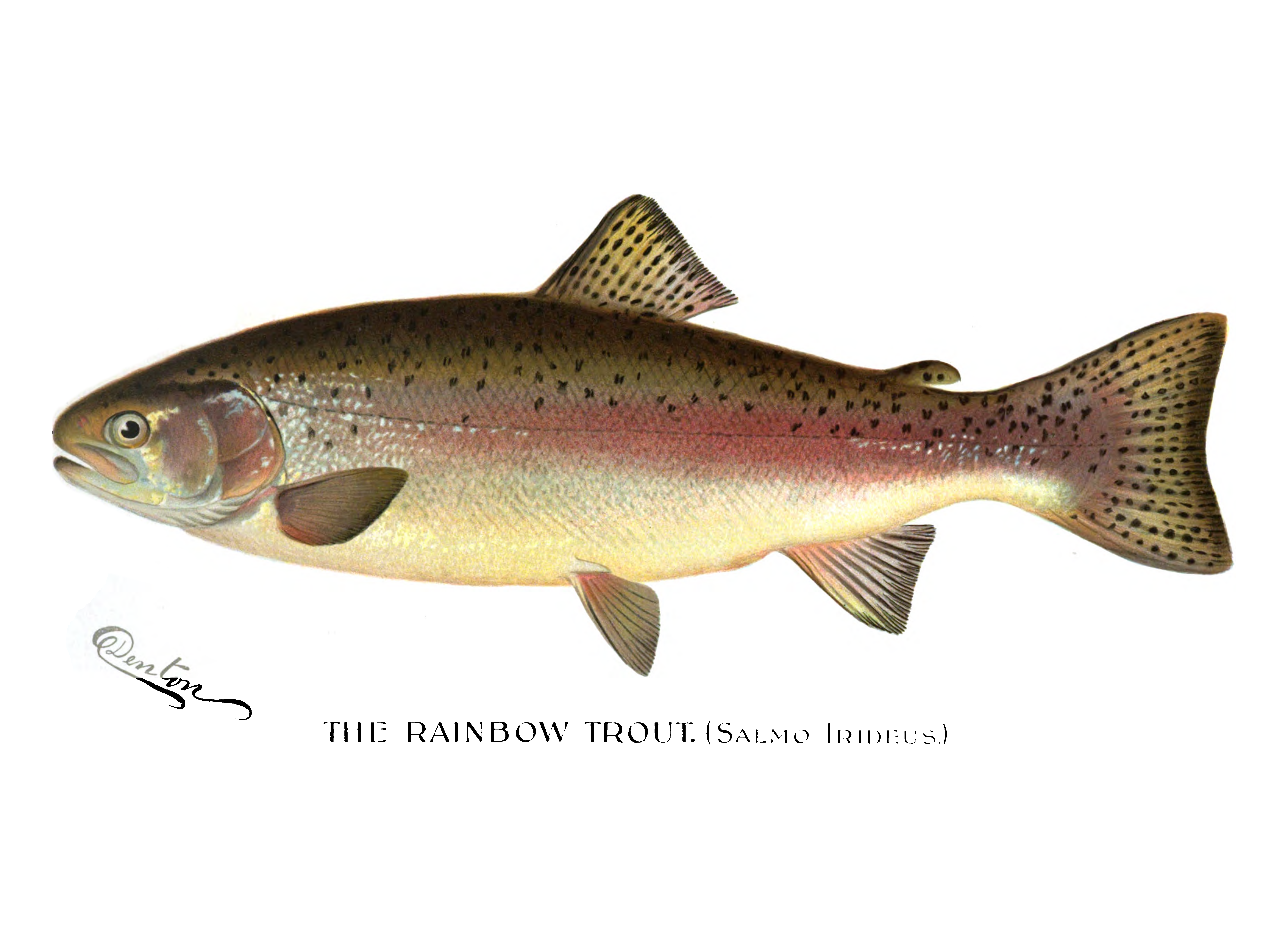 PNG Trout - 83148