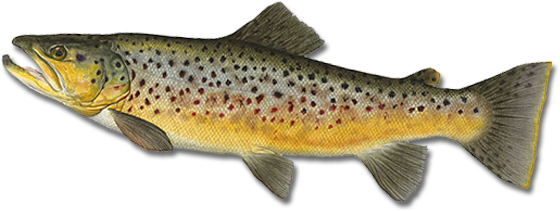 PNG Trout - 83154