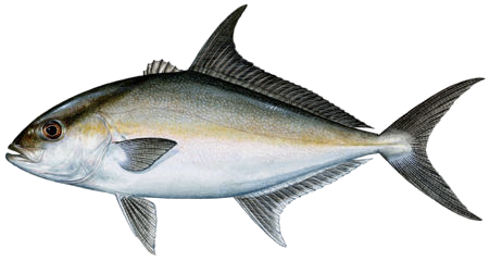 PNG Tuna - 82579