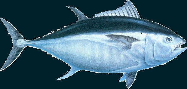 PNG Tuna - 82572