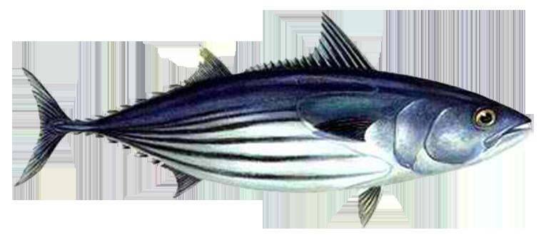 PNG Tuna - 82578