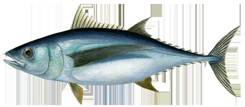PNG Tuna - 82566