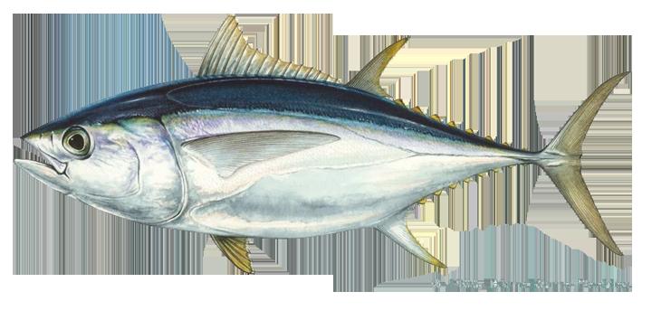 PNG Tuna - 82565