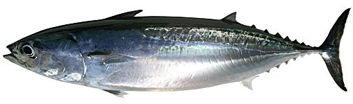 PNG Tuna - 82571