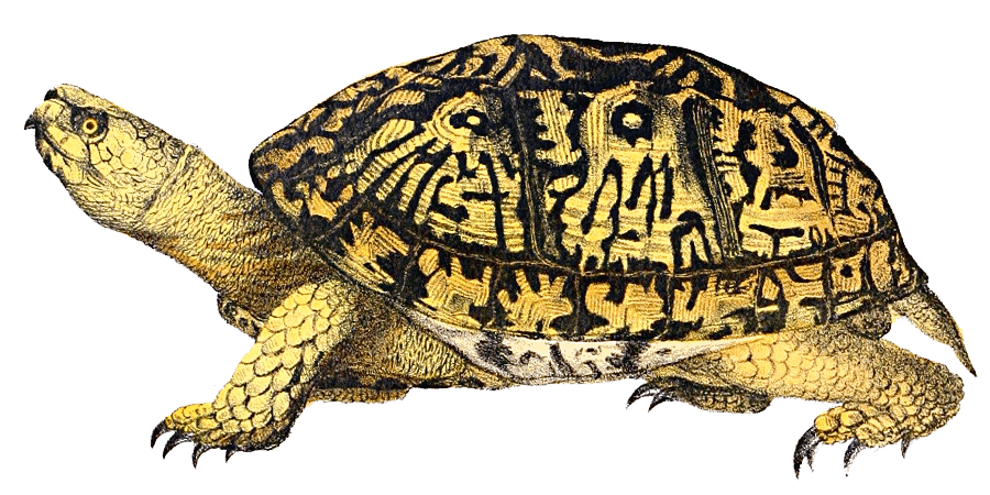 Box Turtle PNG Image - PNG Turtle Pictures