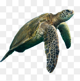 Sea turtle, Sea, Aquarium, Sea Turtle PNG Image - PNG Turtle Pictures
