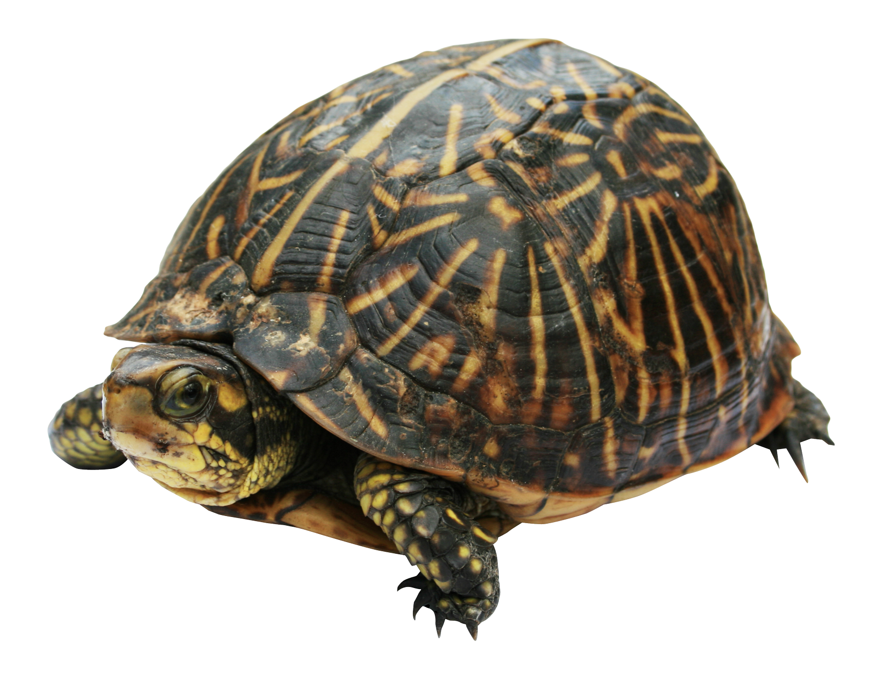 Turtle PNG Transparent Image - PNG Turtle Pictures