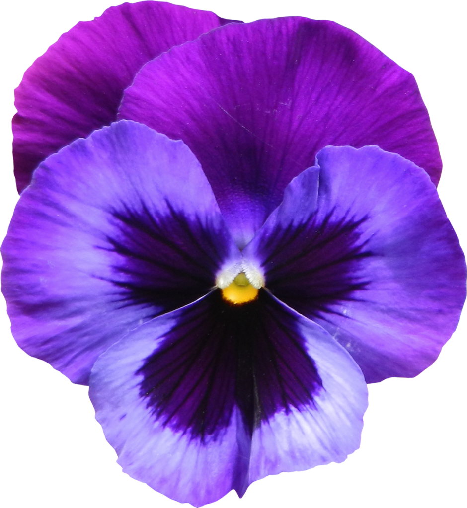 Large_Transparent_Purple_Violet_Flower_PNG_Clipart.png (940×1023) · Violet  Flower PlusPng.com  - PNG Violets Flowers