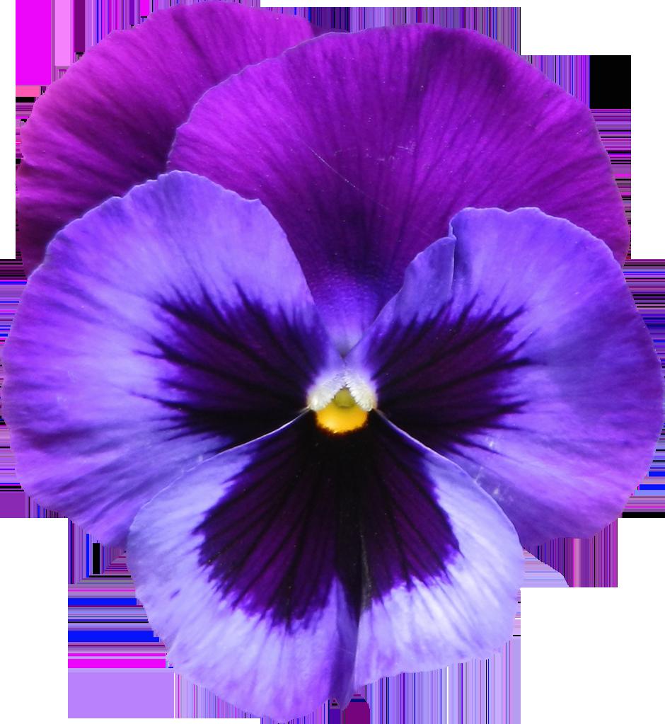 PNG Violets Flowers - 56149