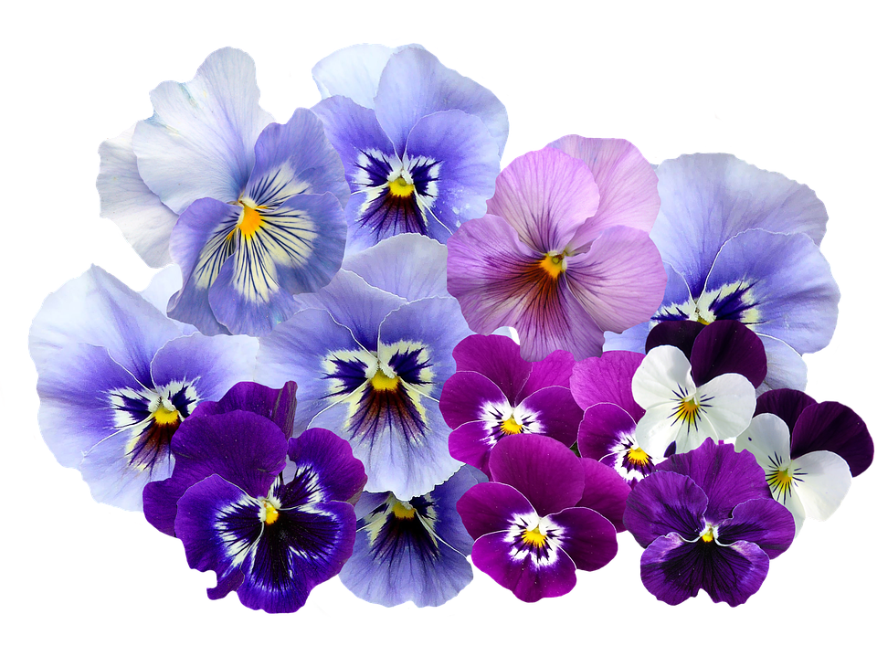 Pansy, Isolated, Violet, Nature, Flowers, Violaceae - PNG Violets Flowers