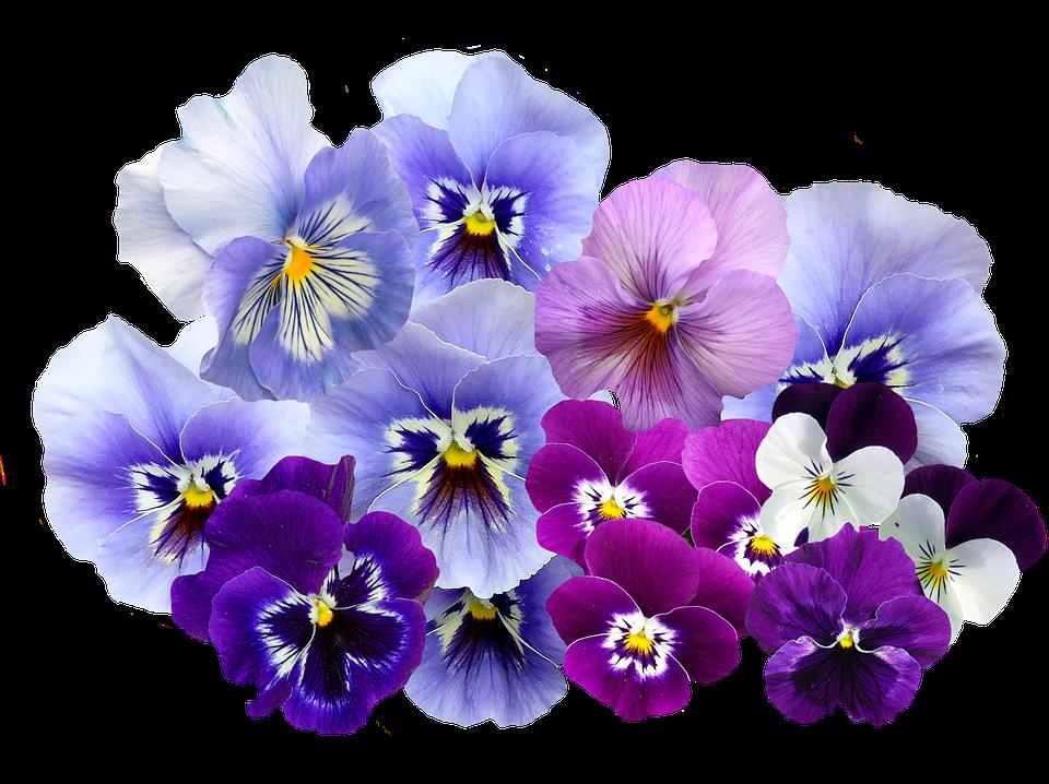 PNG Violets Flowers - 56150