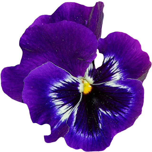 Pansy, Spring, Flower, Blossom, Bloom, Blue, Plant - PNG Violets Flowers