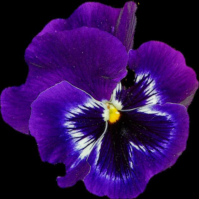 Pansy, Spring, Flower, Blossom, Bloom, Blue, Plant - PNG Violets Flowers