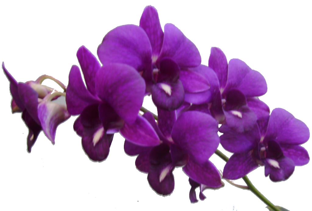 PNG Violets Flowers - 56151
