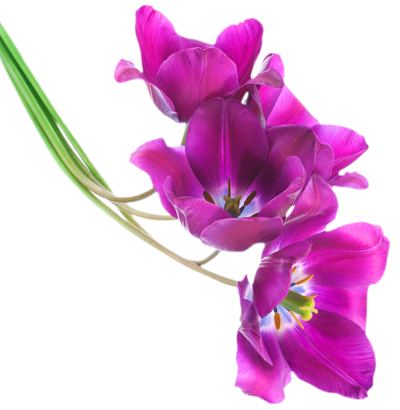 Tulips - PNG Violets Flowers