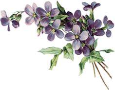 violets - PNG Violets Flowers