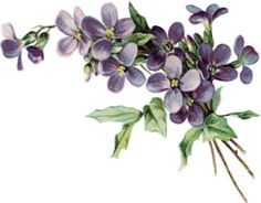 PNG Violets Flowers - 56155