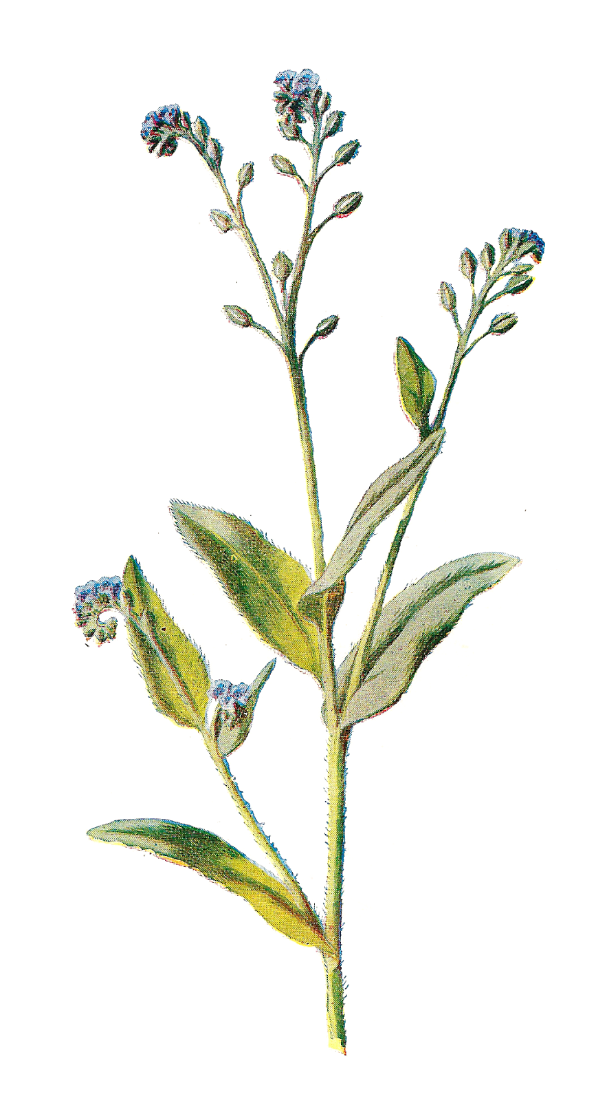 Wildflower cliparts