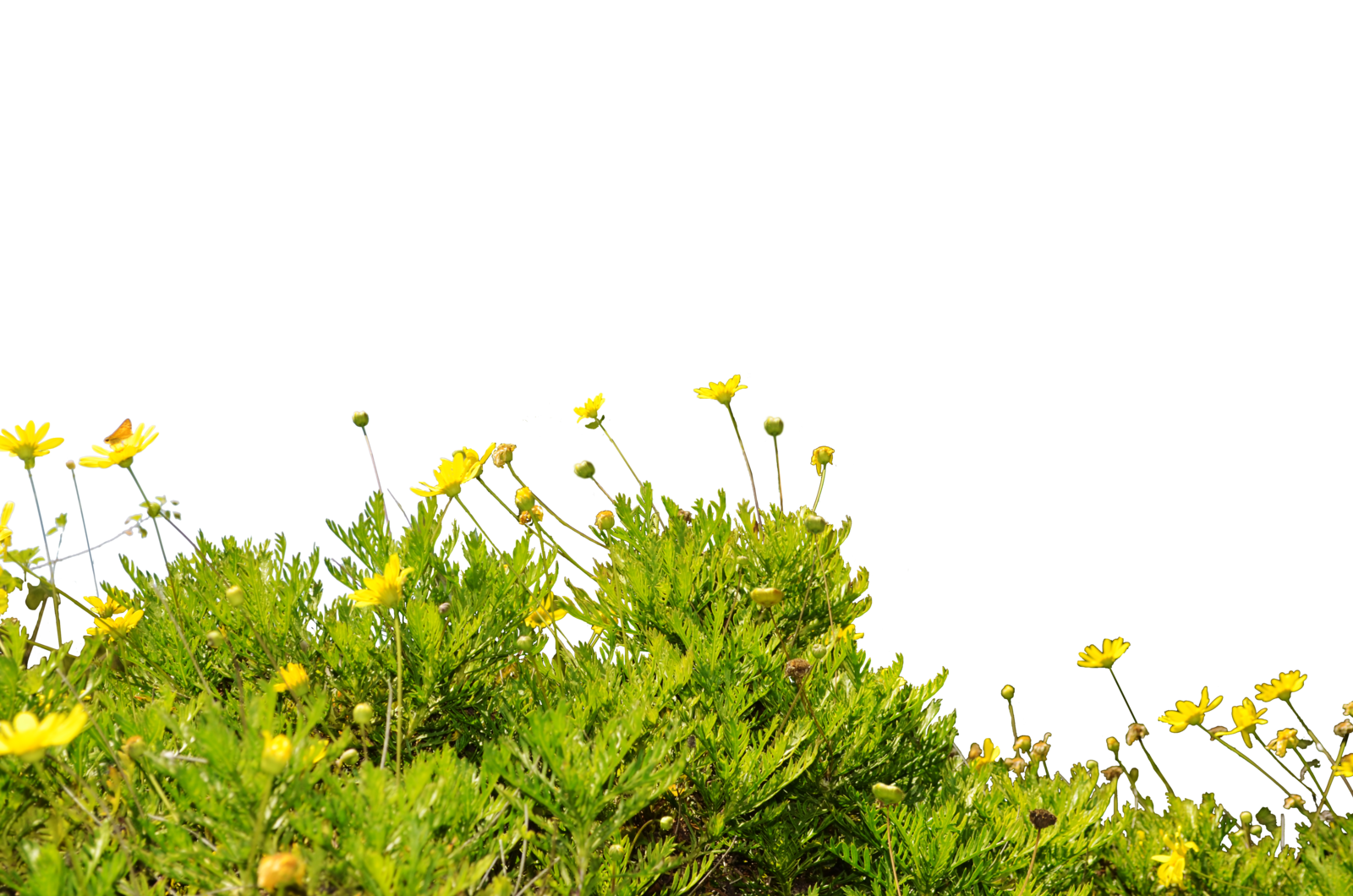 . PlusPng.com Yellow WildFlower Ground Cover StockPhoto 0090 PNG by annamae22 - PNG Wildflowers