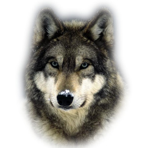 PNG Wolf Head - 42054