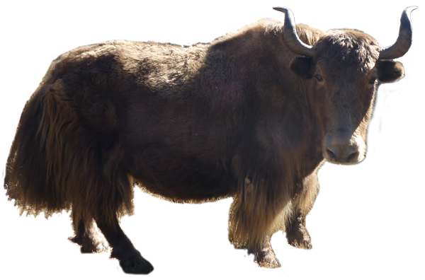 png yak transparent yak png images pluspng american bison clipart bison clipart black and white