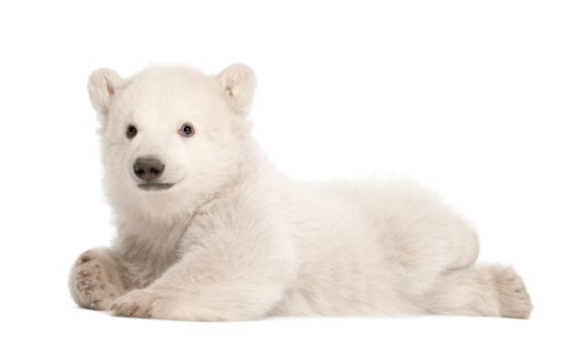 Polar Bear HD PNG-PlusPNG.com-625 - Polar Bear HD PNG