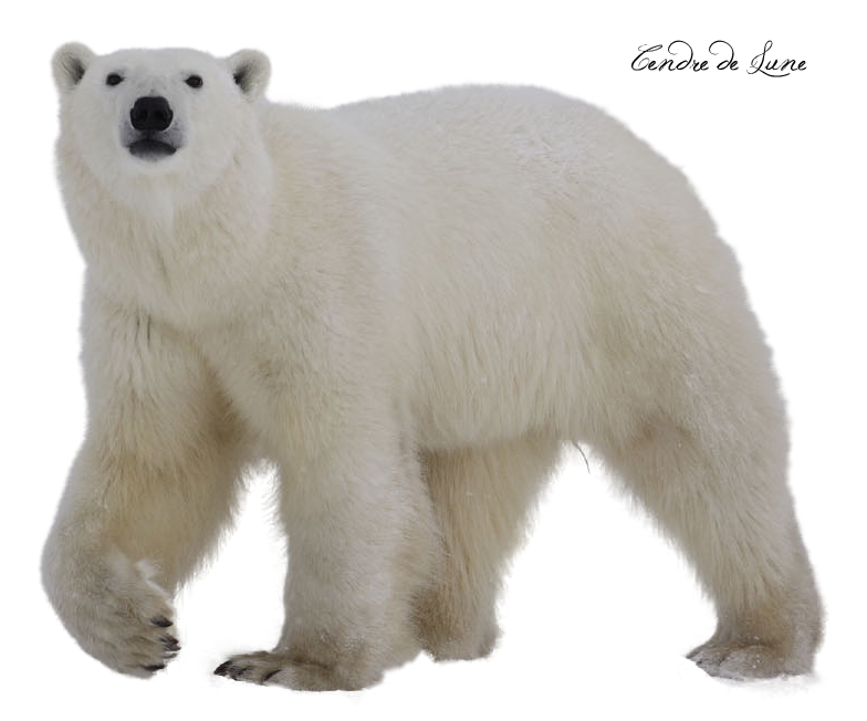 Bear polar PNG by cendredelune PlusPng.com  - Polar Bear HD PNG