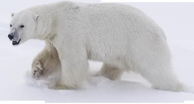 Download Polar Bear PNG images transparent gallery. Advertisement - Polar Bear HD PNG