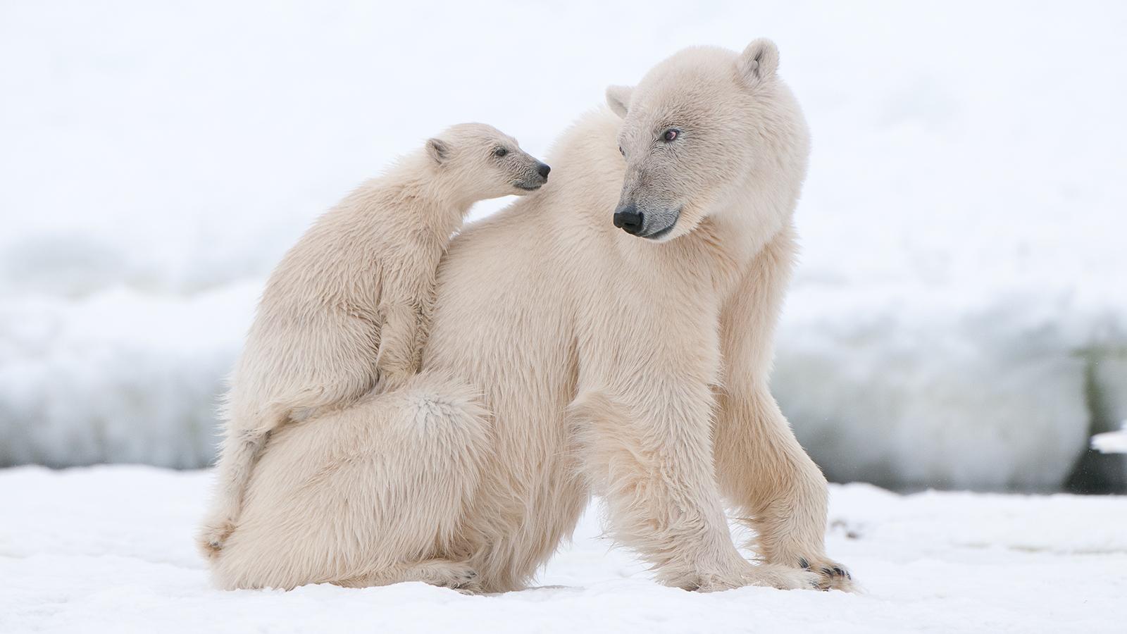 f859675.png - Polar Bear HD PNG