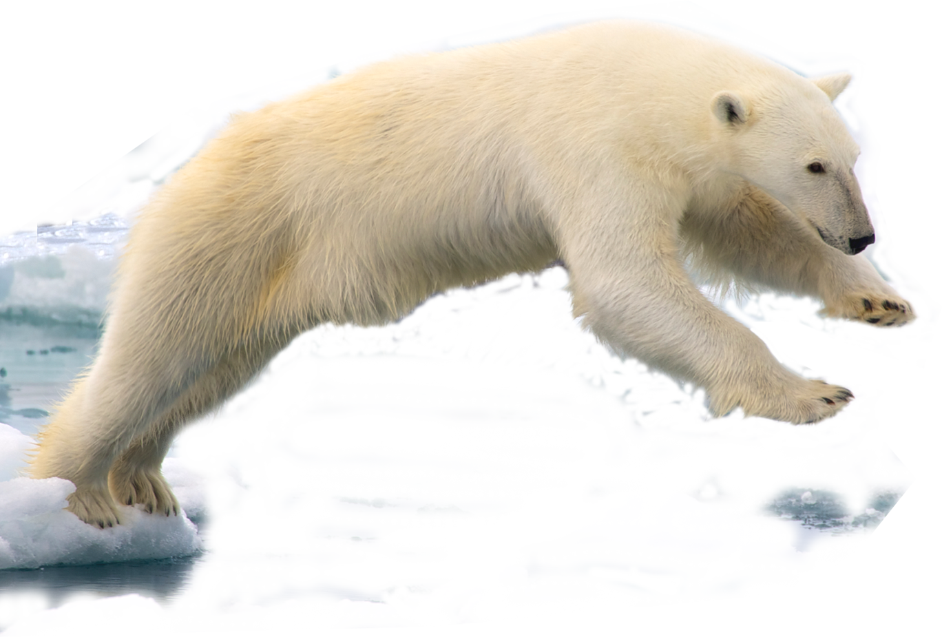 File:Polar bear edited by K Abdelhamid.png - Polar Bear HD PNG