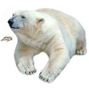 Polar bear.png - Polar Bear HD PNG