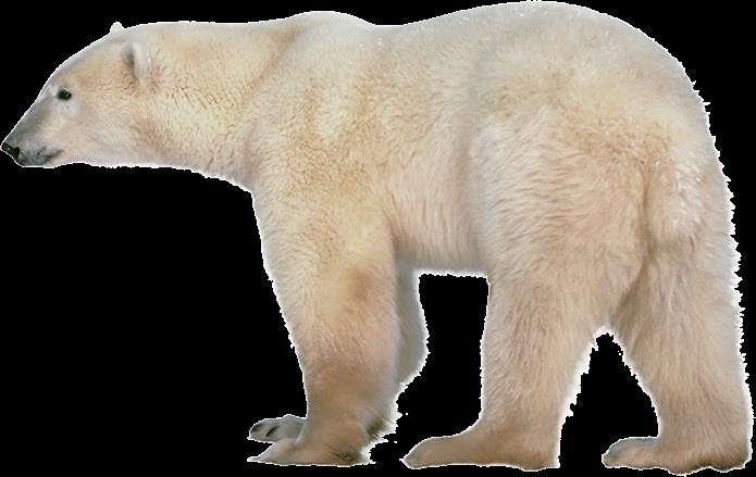 Polar Bear Transparent PNG Image - Polar Bear HD PNG