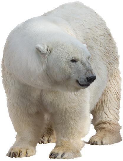 Polar white bear PNG - Polar Bear HD PNG