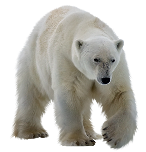 Polar white bear PNG - Polar Bear PNG - Polar Bear HD PNG