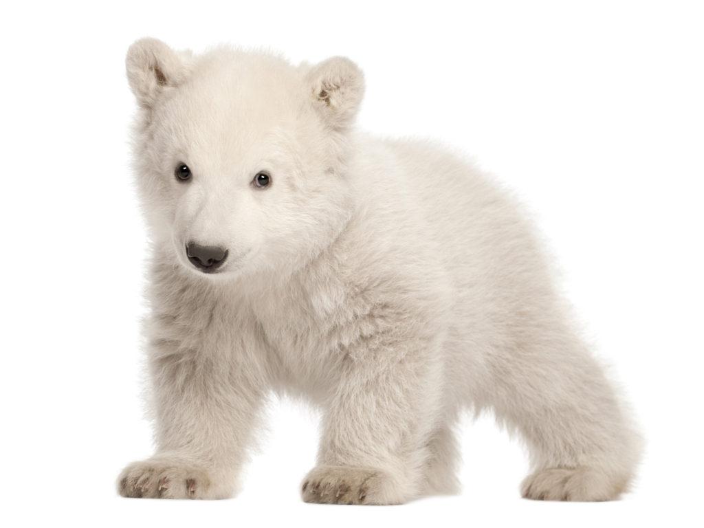 Polar Bear PNG - 25845
