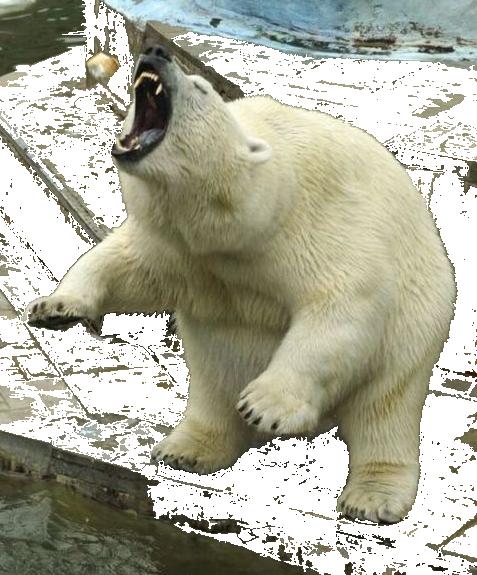 Polar Bear PNG Clipart