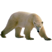 Polar Bear Png Clipart PNG Im